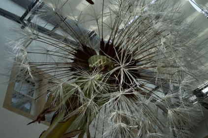 giant dandelion, natural history, botany, model making